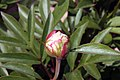 Paeonia lactiflora Tourangelle 0zz.jpg