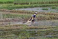 Pahu Sabah Rice-farmers-in-their-paddies-02.jpg
