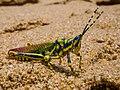 Painted Grasshopper on the Beach (21274473708).jpg