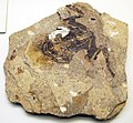 Palaeobatrachus fossil.jpg