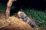 Palestine Mole-rat 1.jpg