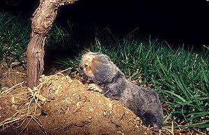 Middle East blind mole-rat - Image: Palestine Mole rat 1
