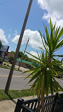 Potted Dracena growing in Murphysboro, Illinois in the Southern region of the state.