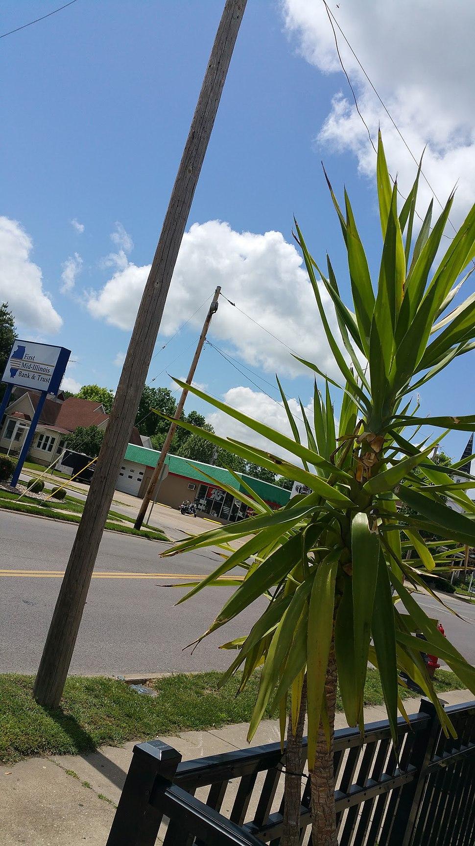 Palm Tree in Musphysboro, Illinois