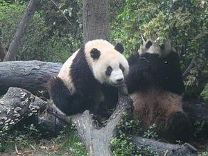 PandaChengdu