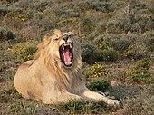 Leijona Luonne