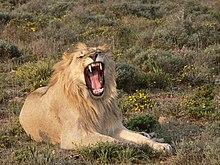 Lion et Communication dans LION