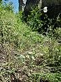 Papaver dubium subsp. austromoravicum sl12.jpg
