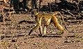 Papión chacma (Papio ursinus), parque nacional de Chobe, Botsuana, 2018-07-28, DD 63.jpg
