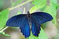 Papilio thaiwanus male back 20140719.jpg