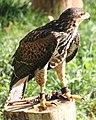 Parabuteo unicinctus Slovenia Harris's hawk IMG 9399.jpg