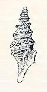 <i>Paracomitas augusta</i> Species of gastropod