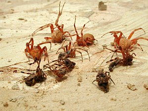 Organ pipe mud dauber - Image: Paralyzed spiders extracted from nest cell of organ pipe mud dauber wasp