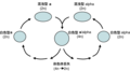 Parasexual cycle of Candida albicans-zh-hans.png