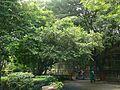 Parijata (Sanskrit- पारिजात) (1094908412).jpg