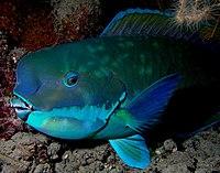 Parrotfish turquoisse