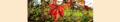 Parthenocíssus quinquefolia. Reader.png