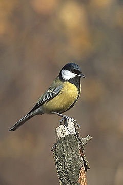 Meantán mór, Parus major