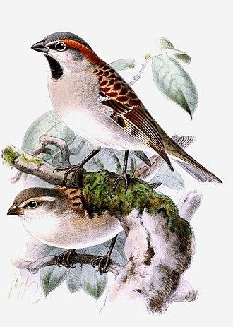 Sind sparrow - Illustration of a pair by John Gerrard Keulemans, 1888