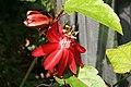 Passiflora Grace Ann 4zz.jpg