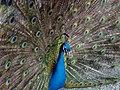 Pavo (genus) طاووس هندی 03.jpg