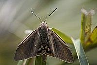 Paysandisia archon-Calvisson 300mm-20130708.jpg