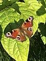 Peacock Butterfly in Russia.jpg