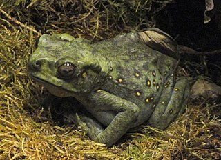 Climbing Toad