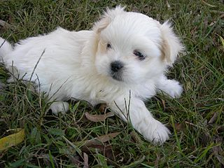 Names For Pekingese Male Dogs
