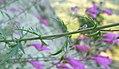 Penstemon richardsonii var. richardsonii 4.jpg