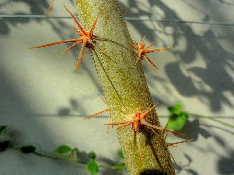File:Pereskia weberiana 'Cervetano' (Cactaceae) thorns HDR.jpg