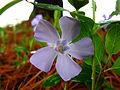 Periwinkle-lavender-blue-flower - West Virginia - ForestWander.jpg