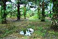 Perkebunan kelapa sawit milik rakyat (6).JPG