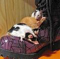 Pet mice.jpg
