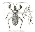 Petalochirus brachialis fbi.png