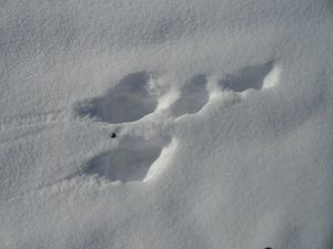 Arctic hare - Arctic hare footprint on snow.