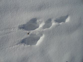 Arctic hare - Arctic hare footprints on snow.