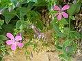 Petrocoptis grandiflora.002 - Serra de Enciña de Lastra.JPG