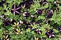 Petunien - Surfinia Bicolor Purple und Phantom.JPG