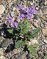 Phacelia crenulata 12.jpg