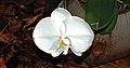 Phalaenopsis Armeni - White.jpg