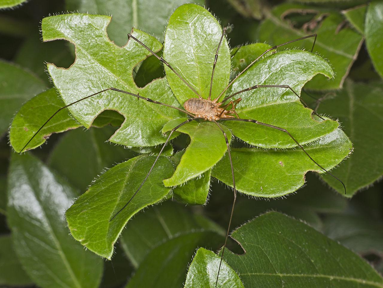 Kosec rožkatý (Phalangium opilio) - samček
