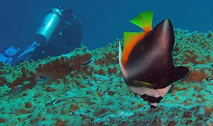 Andaman Sea - Phantom bannerfish (Heniochus pleurotaenia), Similan Islands, Thailand