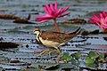 Pheasant-tailed jacana (Hydrophasianus chirurgus).jpg