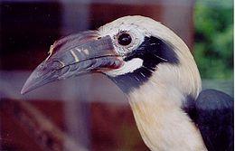 Philippine tarictic hornbill callanbentley011