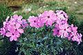 Phlox amoena 'Rosea' 2.jpg