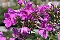 Phlox paniculata Blue Paradise 7zz.jpg