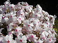 Phlox subulata 'Amazing grace' 6.JPG