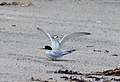 Photo of the Week - Least Terns (ME) (8466378618).jpg