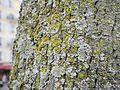 Physconia grisea 1.jpg
